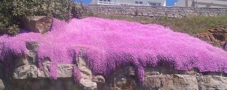 В Аргентине цветет Manto de la Virgen.