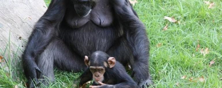 Шимпанзе заботятся о своих инвалидах (есть у кого поучиться)