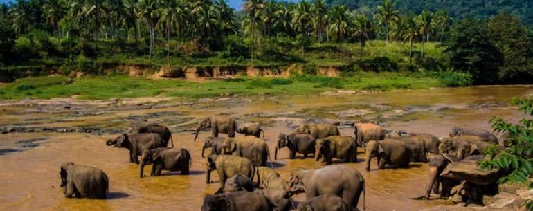 Заповедник слонов Пиннавела в Шри-Ланке.