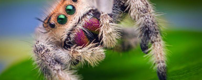 #видео | Уникальное зрение пауков-скакунов